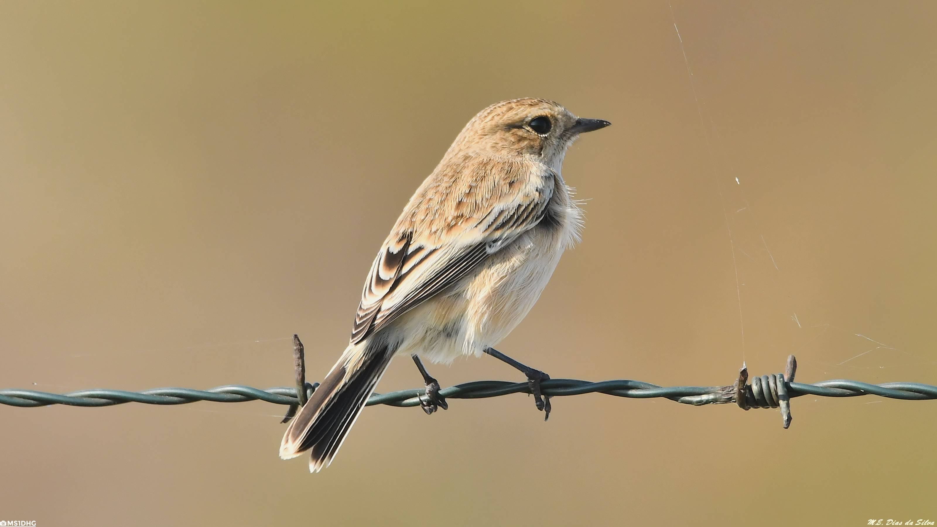 Fórum Aves - Birdwatching em Portugal - Portal Cartaxo%20siberiano%20(2)