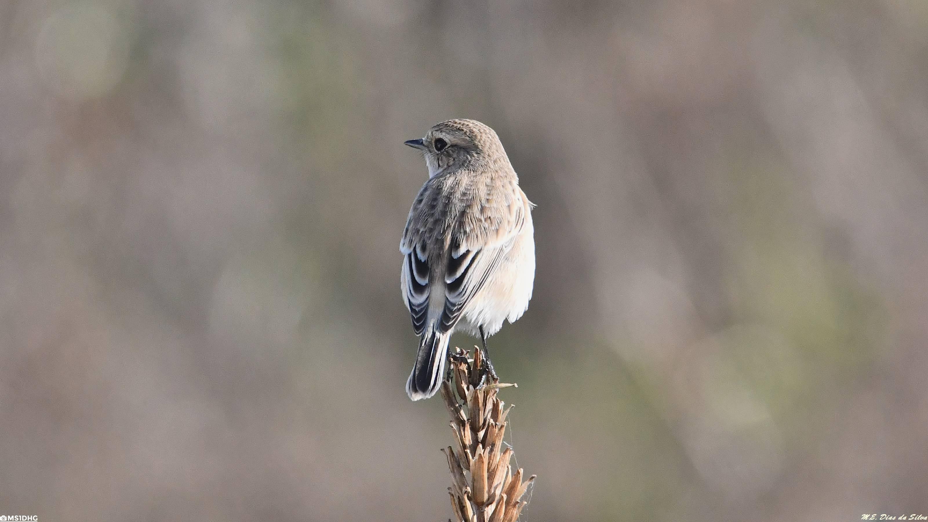 Fórum Aves - Birdwatching em Portugal - Portal Cartaxo%20siberiano%20(4)