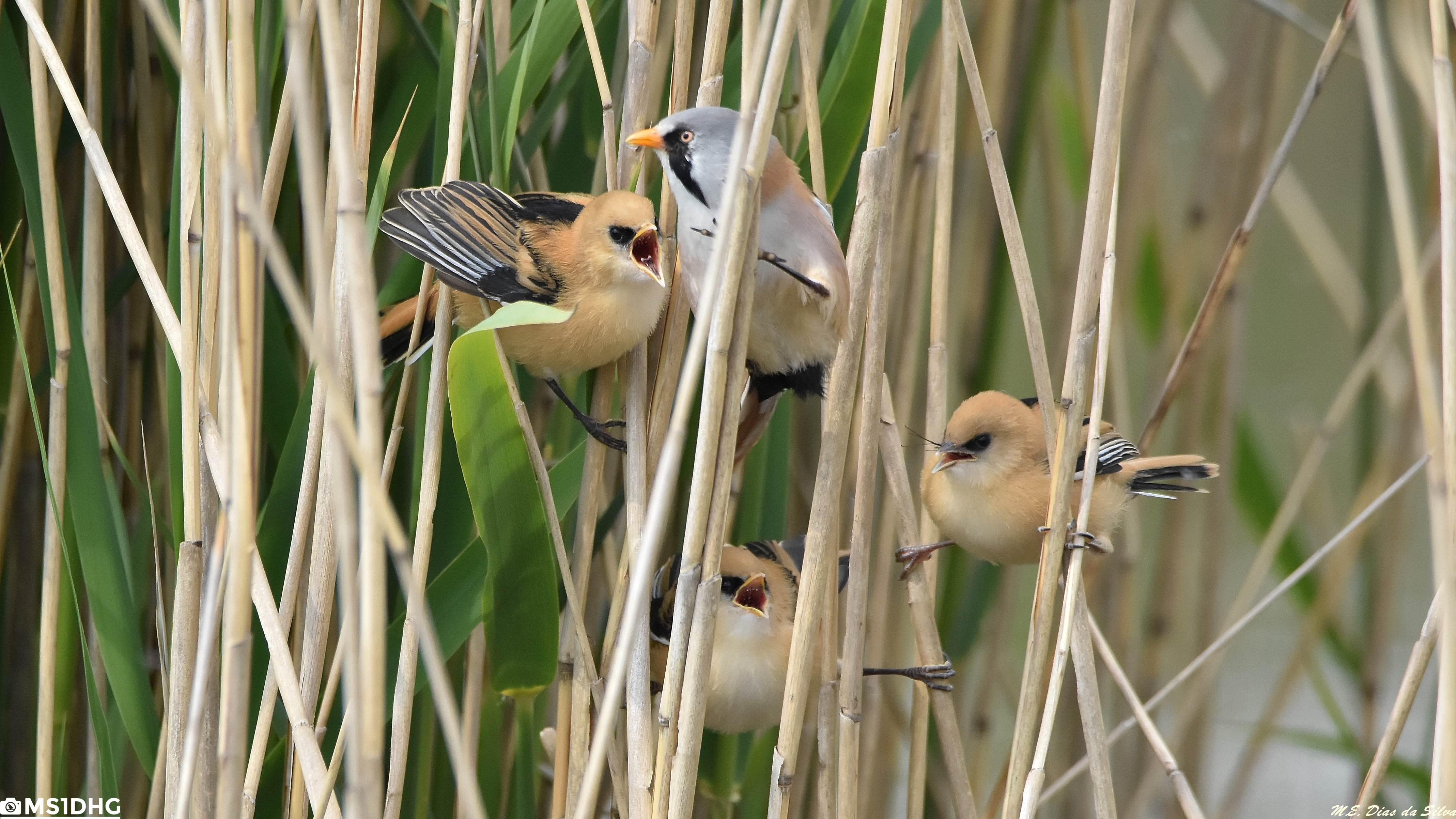 Fórum Aves - Birdwatching em Portugal - Portal Chapim-de-Bigodes%20(16)