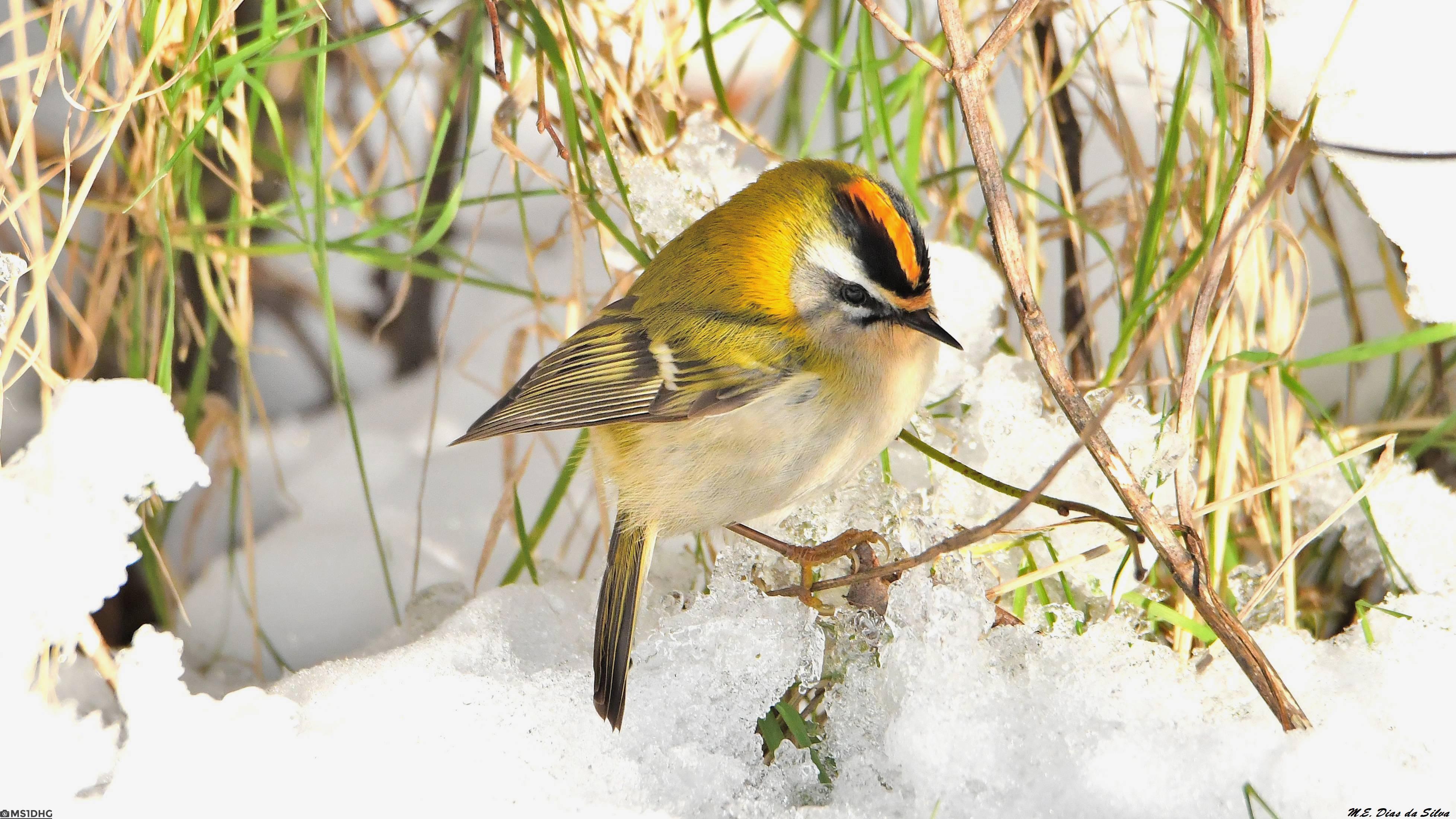 Fórum Aves - Birdwatching em Portugal - Portal Estrelinha-de-cabe%c3%a7a-listada%20(91)