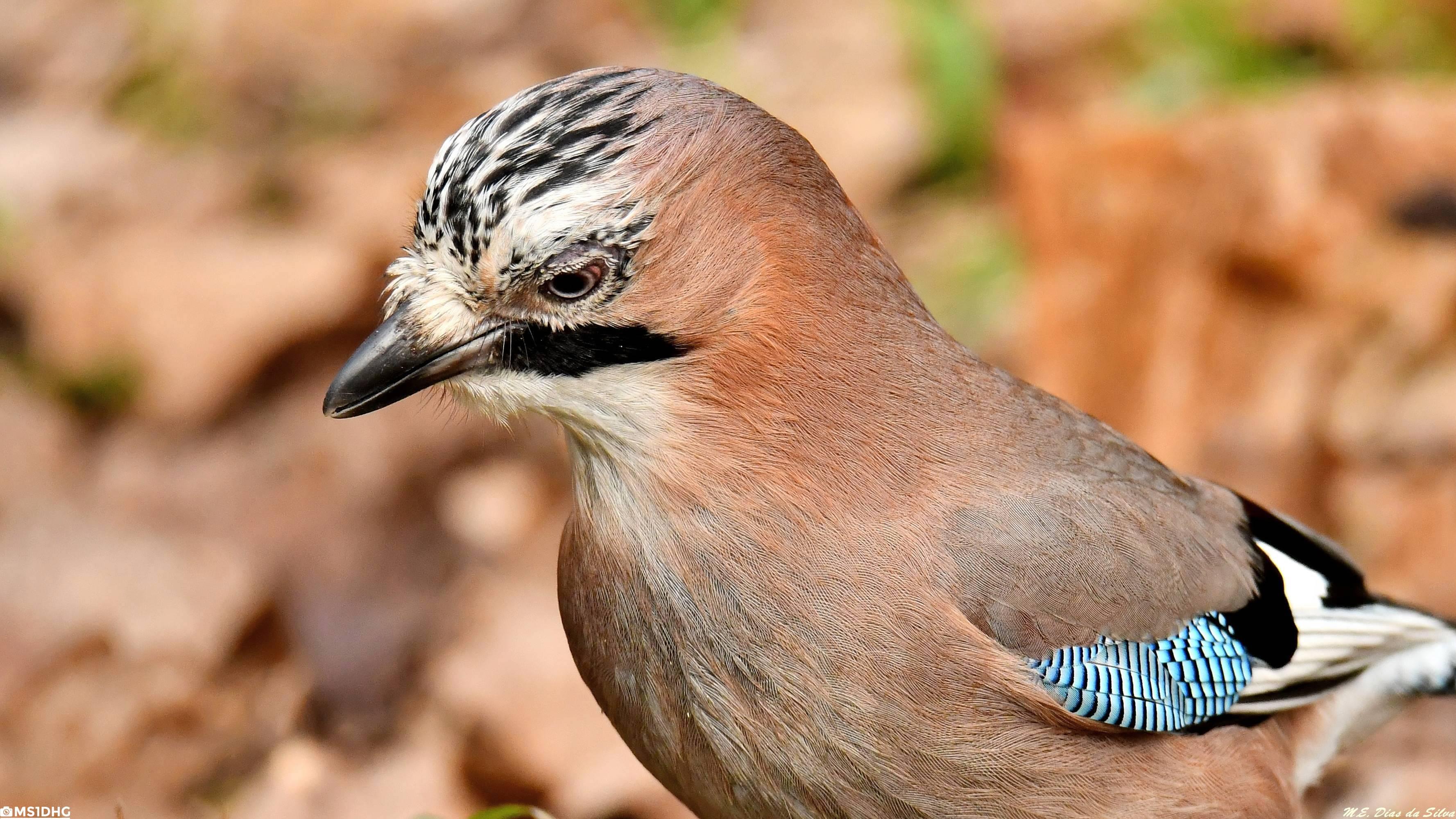 Fórum Aves - Birdwatching em Portugal - Portal Gaio-comum%20(21)