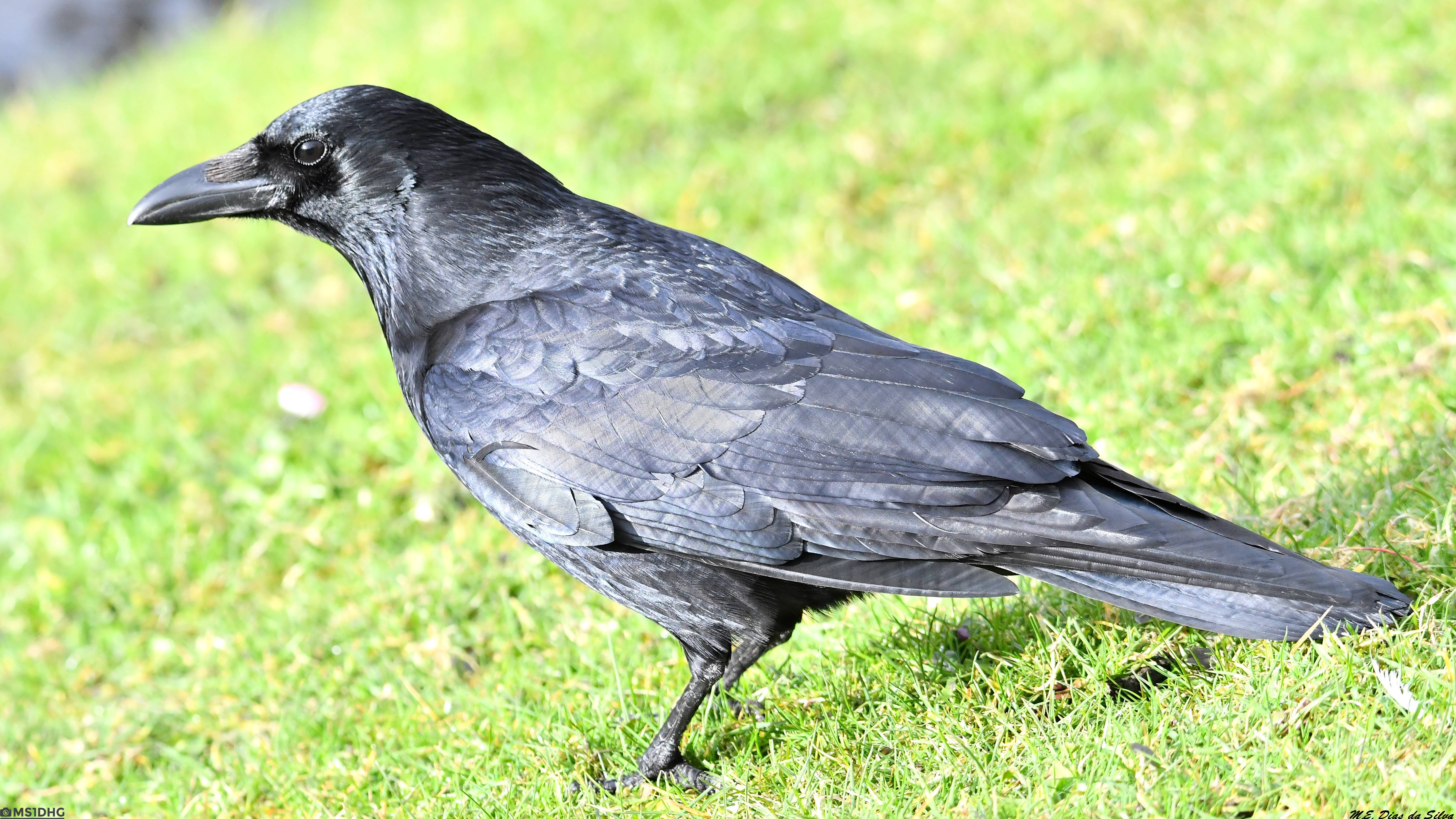 Fórum Aves - Birdwatching em Portugal - Portal Gralha-preta%20(23)