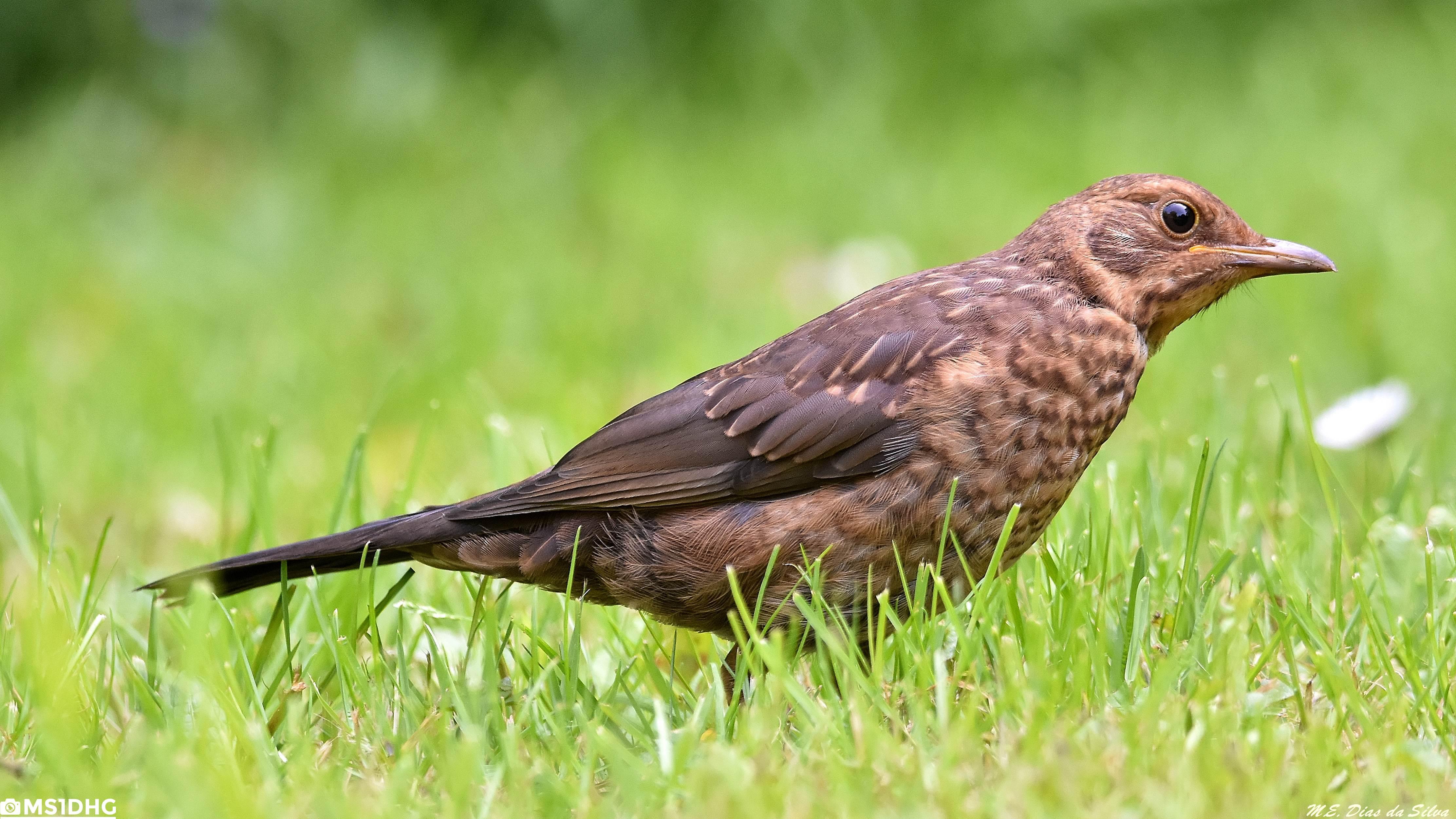 Fórum Aves - Birdwatching em Portugal - Portal Melro-preto%20(18)