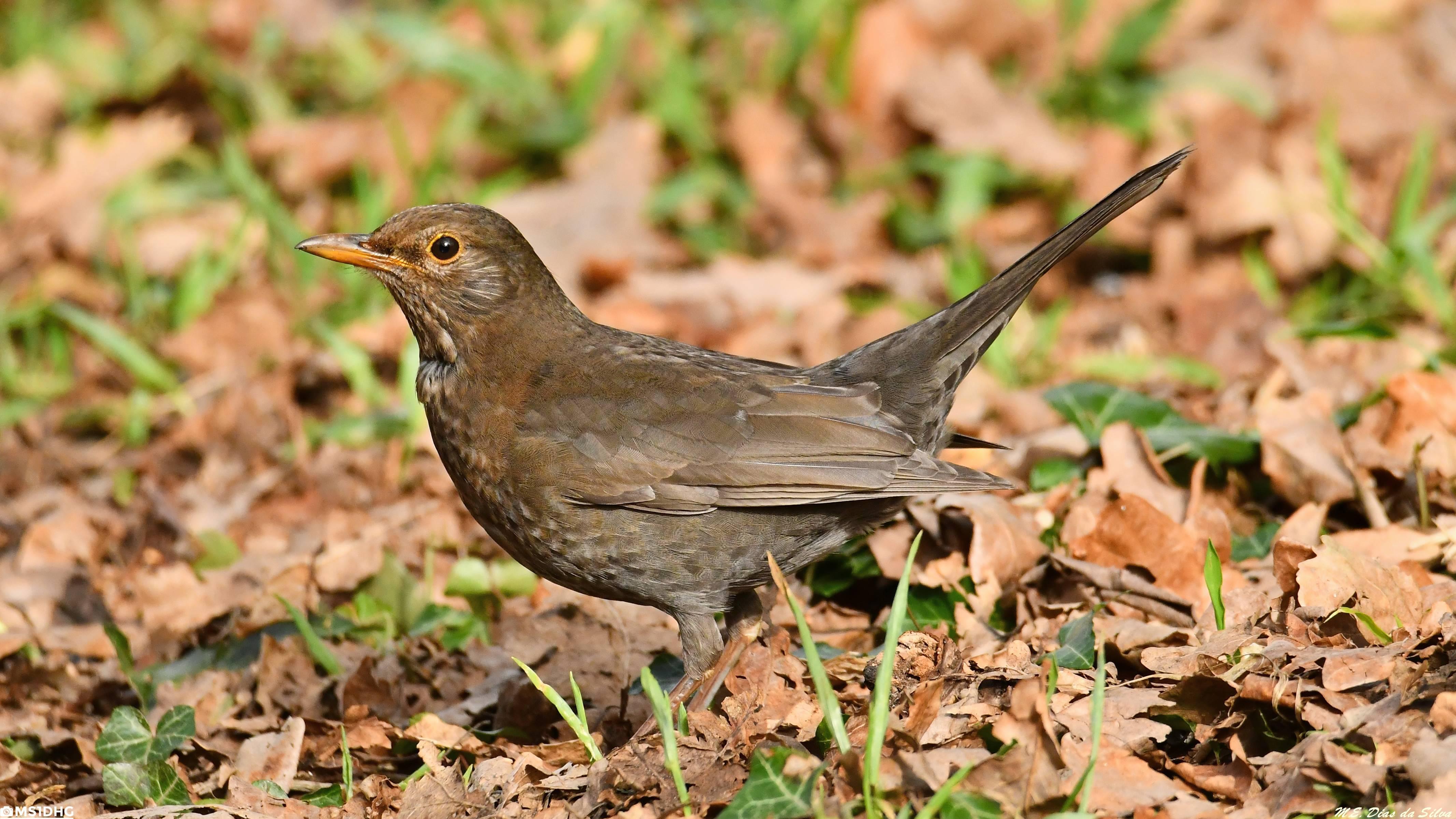 Fórum Aves - Birdwatching em Portugal - Portal Melro-preto%20(67)