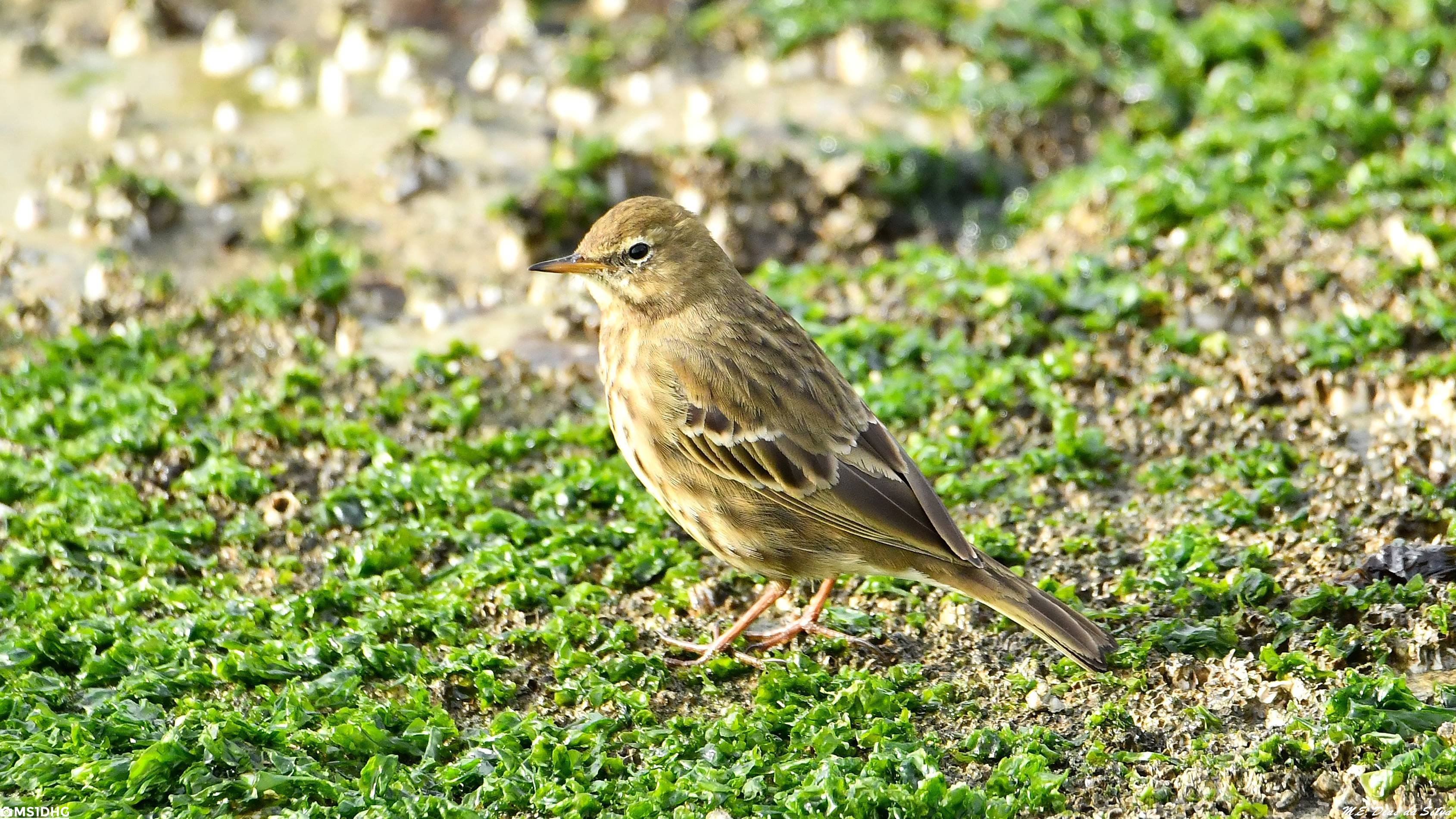 Fórum Aves - Birdwatching em Portugal - Portal Petinha-mar%c3%adtima%20(12)