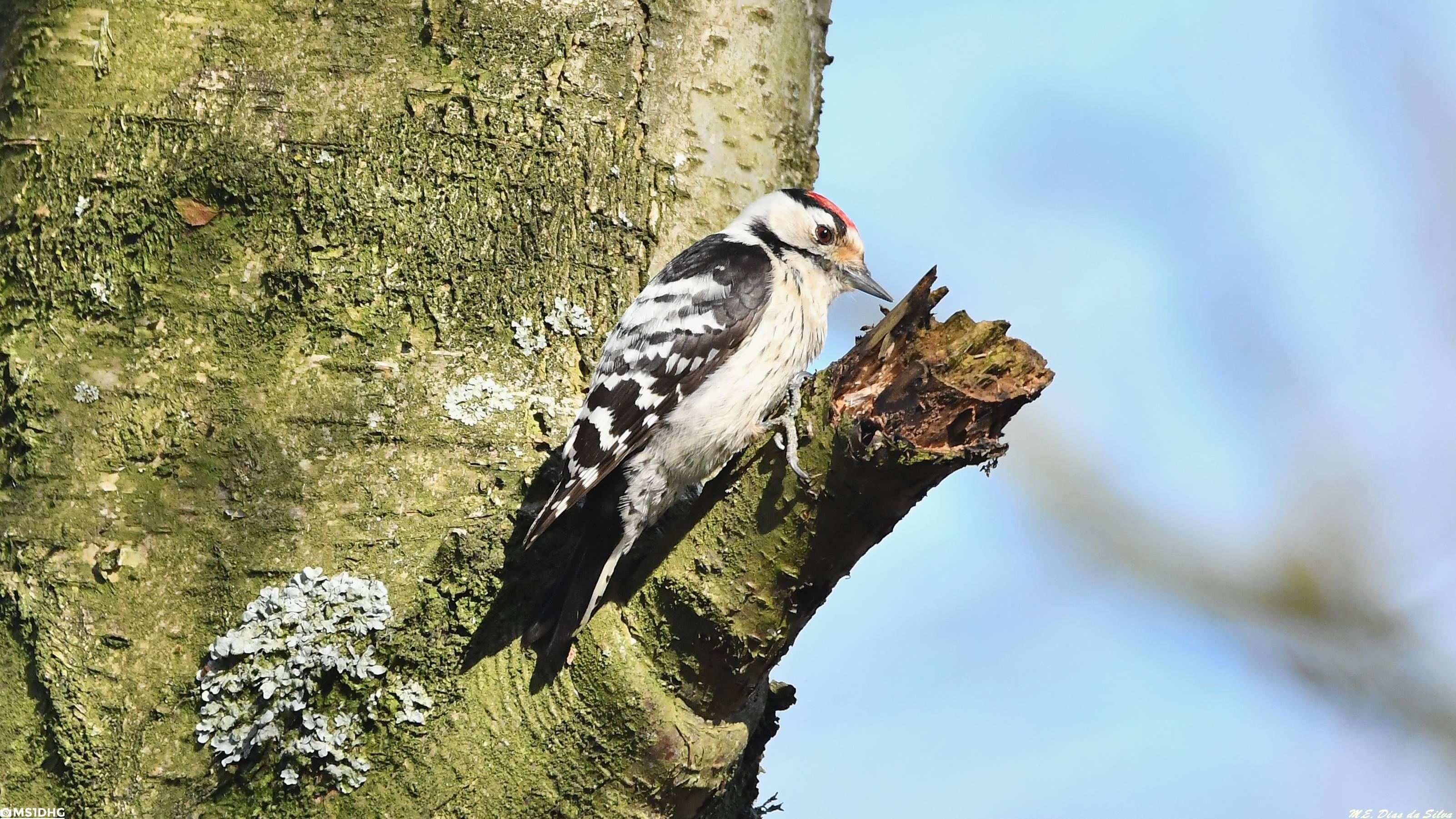 Fórum Aves - Birdwatching em Portugal - Portal Pica-pau-malhado-pequeno%20(2)