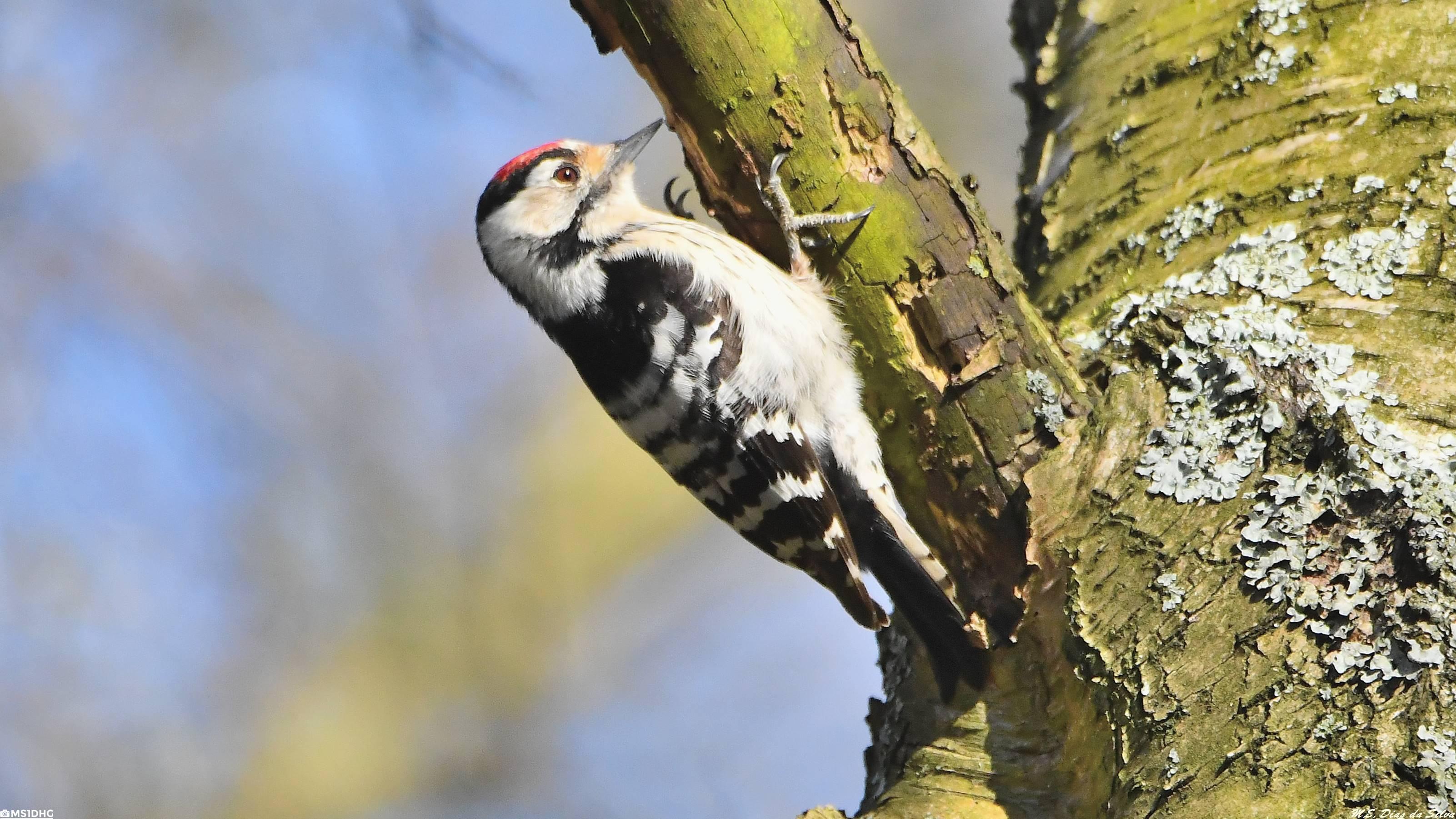 Fórum Aves - Birdwatching em Portugal - Portal Pica-pau-malhado-pequeno