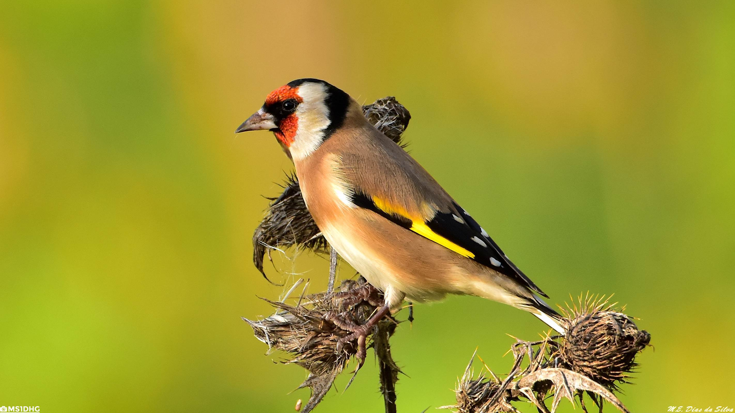 Fórum Aves - Birdwatching em Portugal - Portal Pintassilgo%20(25)