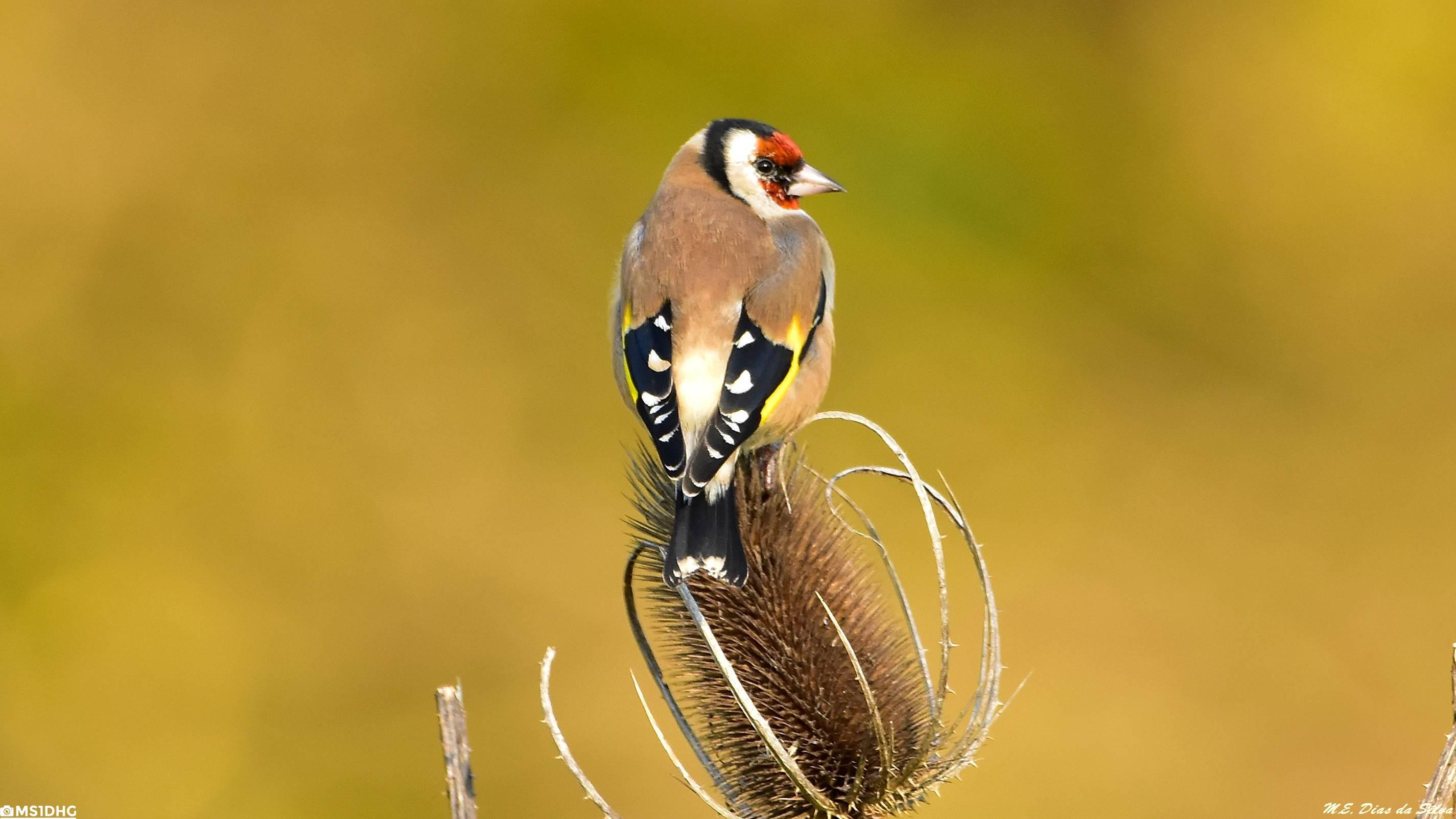 Fórum Aves - Birdwatching em Portugal - Portal Pintassilgo%20(26)