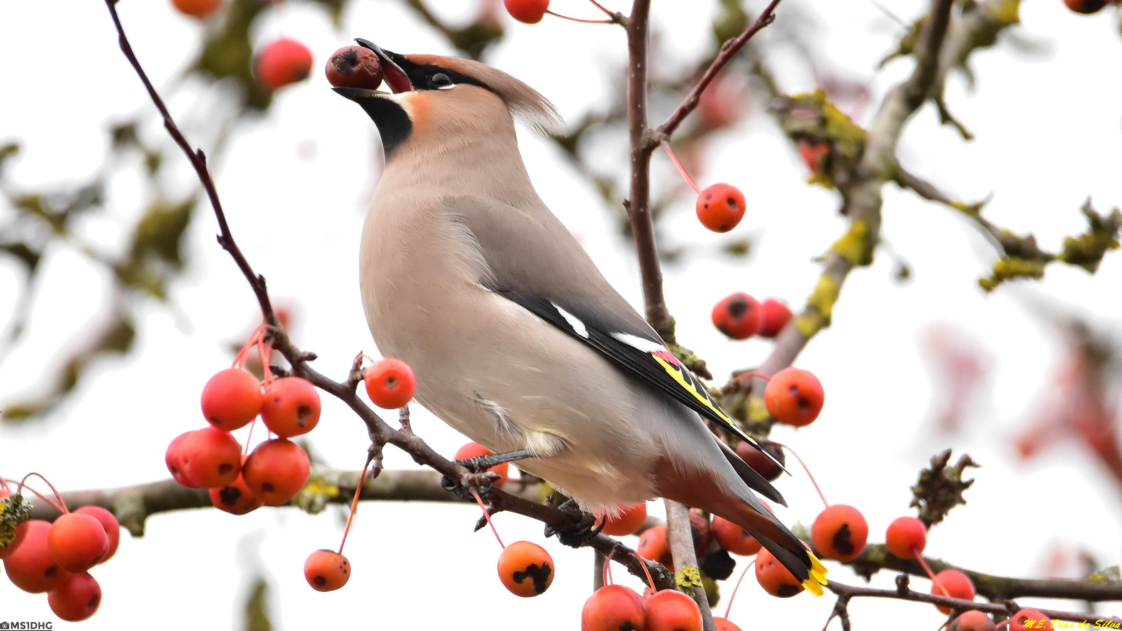 Fórum Aves - Birdwatching em Portugal - Portal Tagarela%20europeia%20(11)