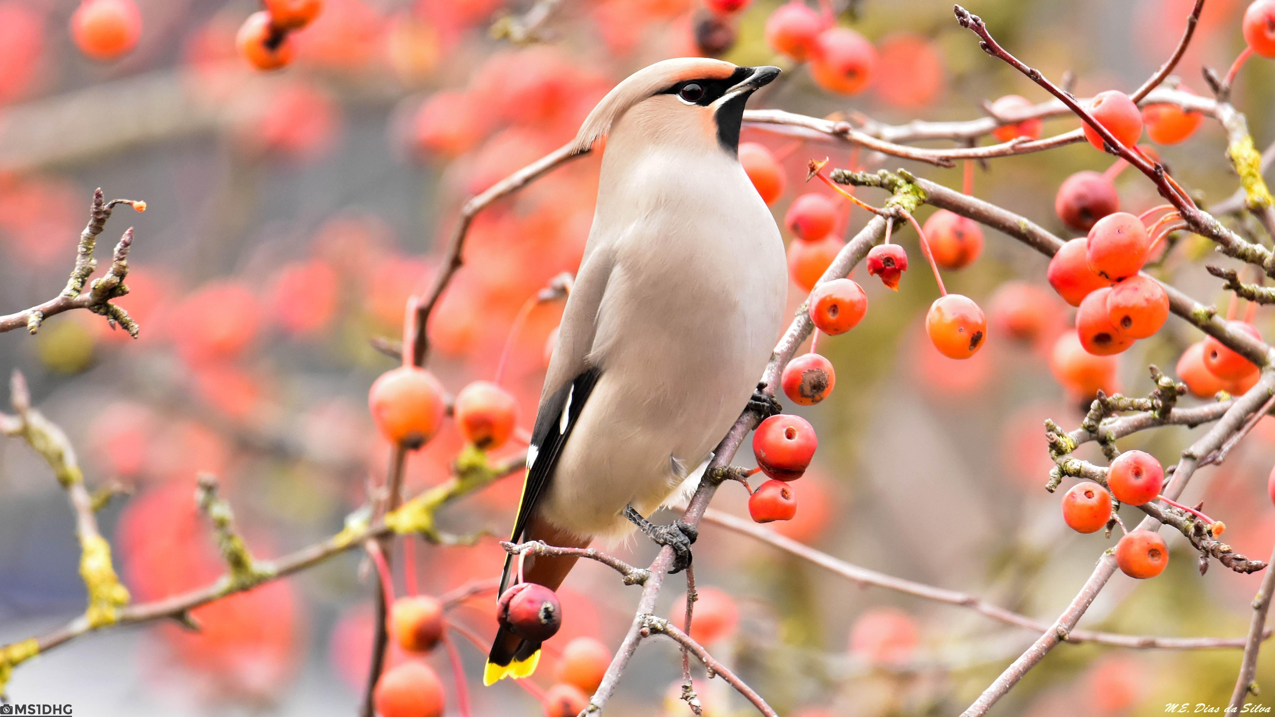Fórum Aves - Birdwatching em Portugal - Portal Tagarela%20europeia%20(14)