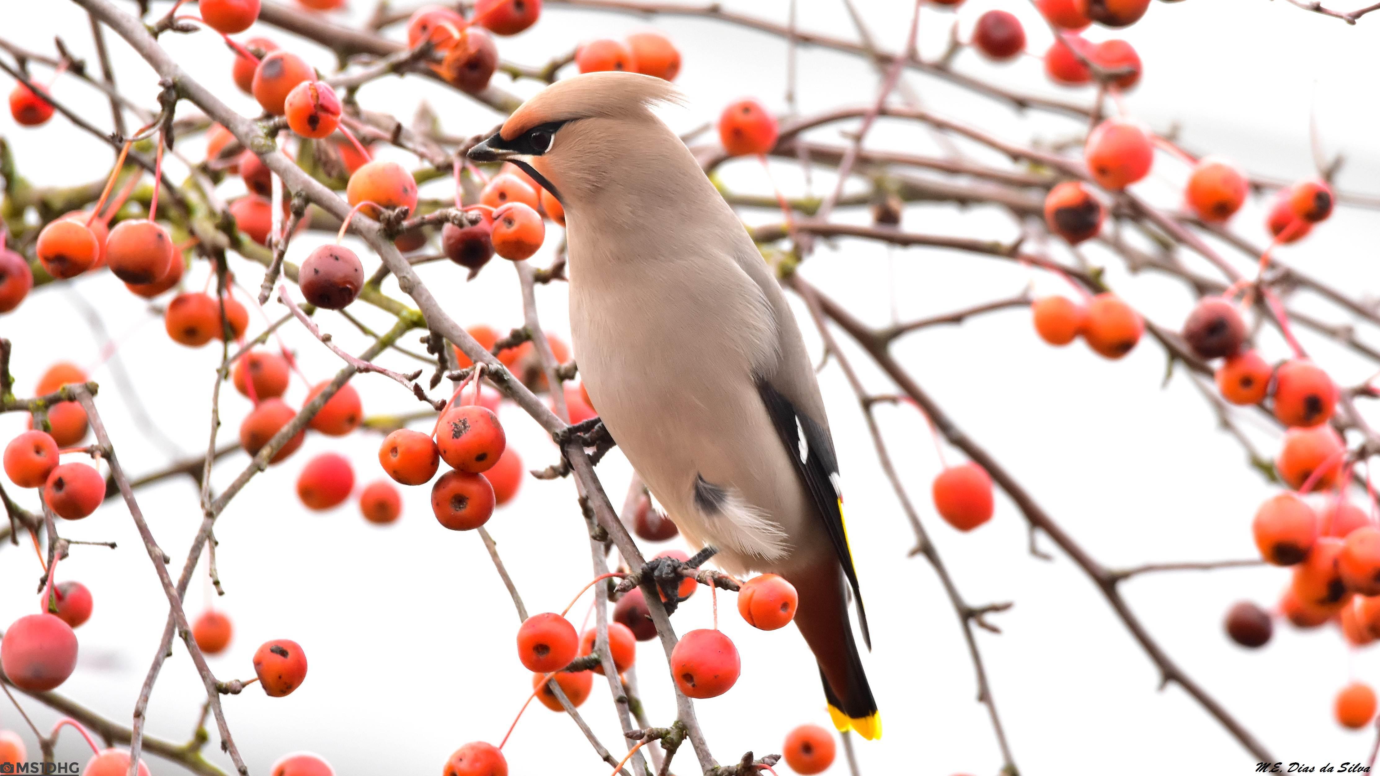 Fórum Aves - Birdwatching em Portugal - Portal Tagarela%20europeia%20(7)