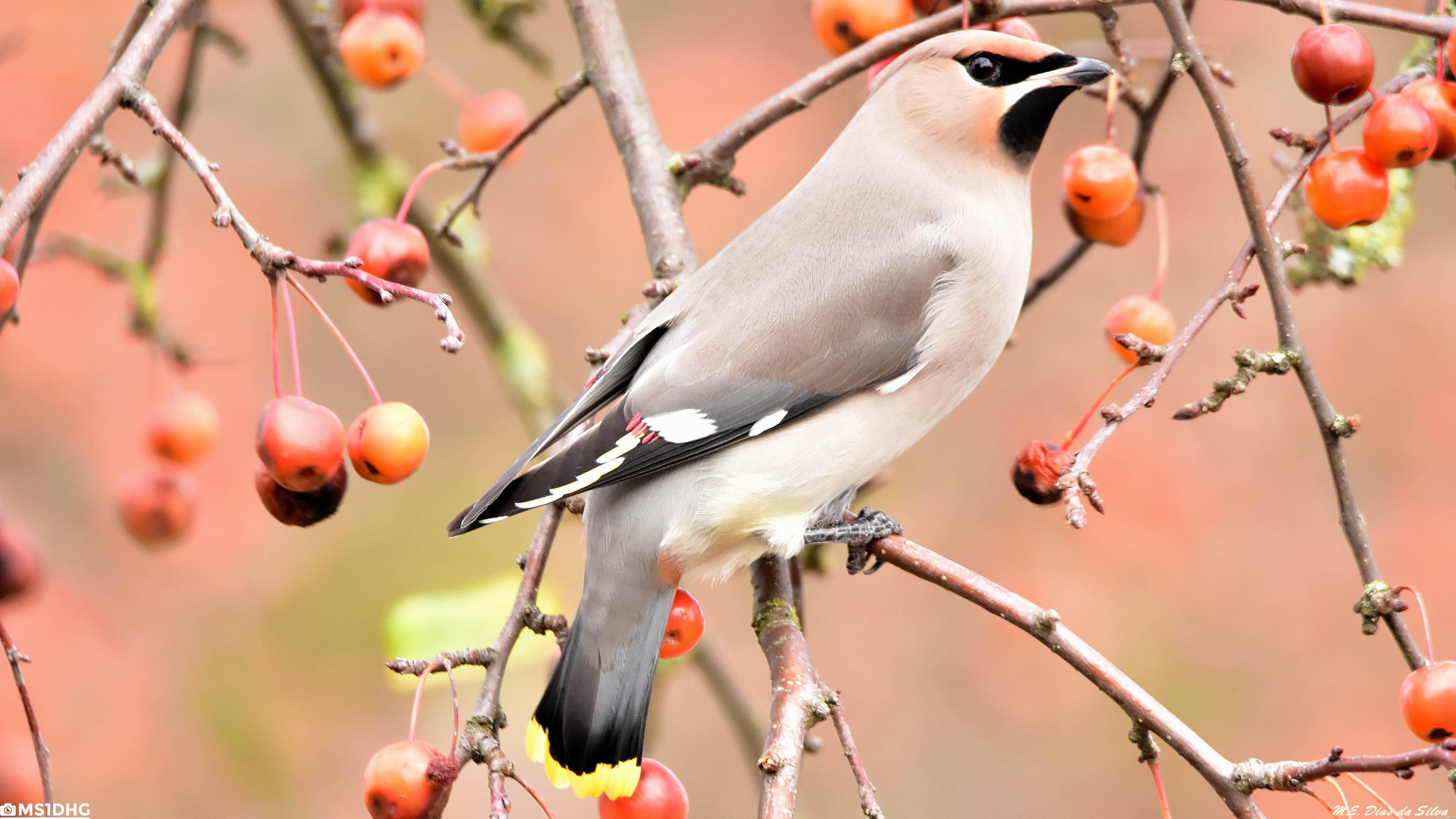 Fórum Aves - Birdwatching em Portugal - Portal Tagarela%20europeia%20(9)