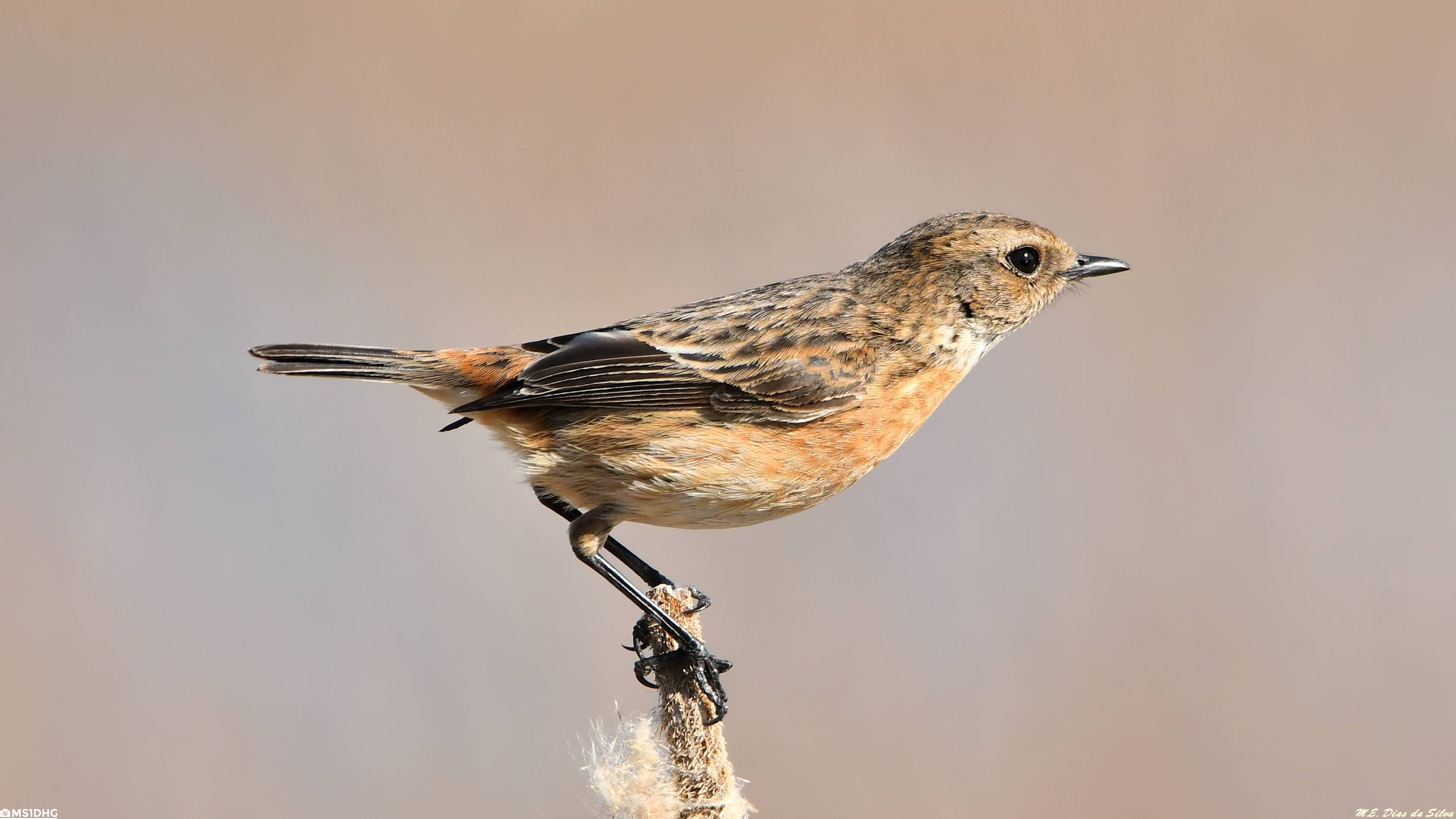 Fórum Aves - Birdwatching em Portugal - Portal Cartaxo-comum%20(80)