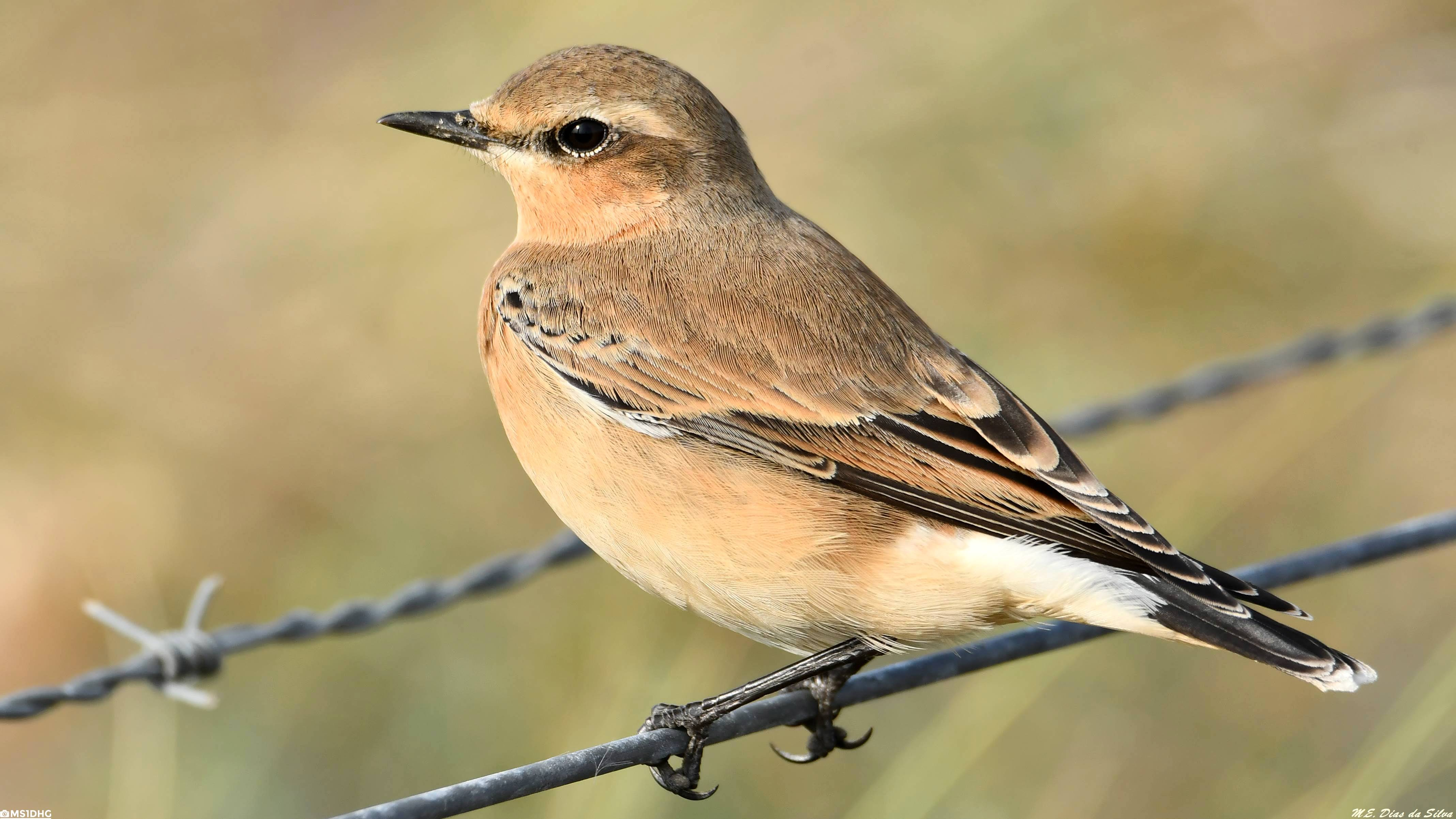 Fórum Aves - Birdwatching em Portugal - Portal Chasco-cinzento%20(35)