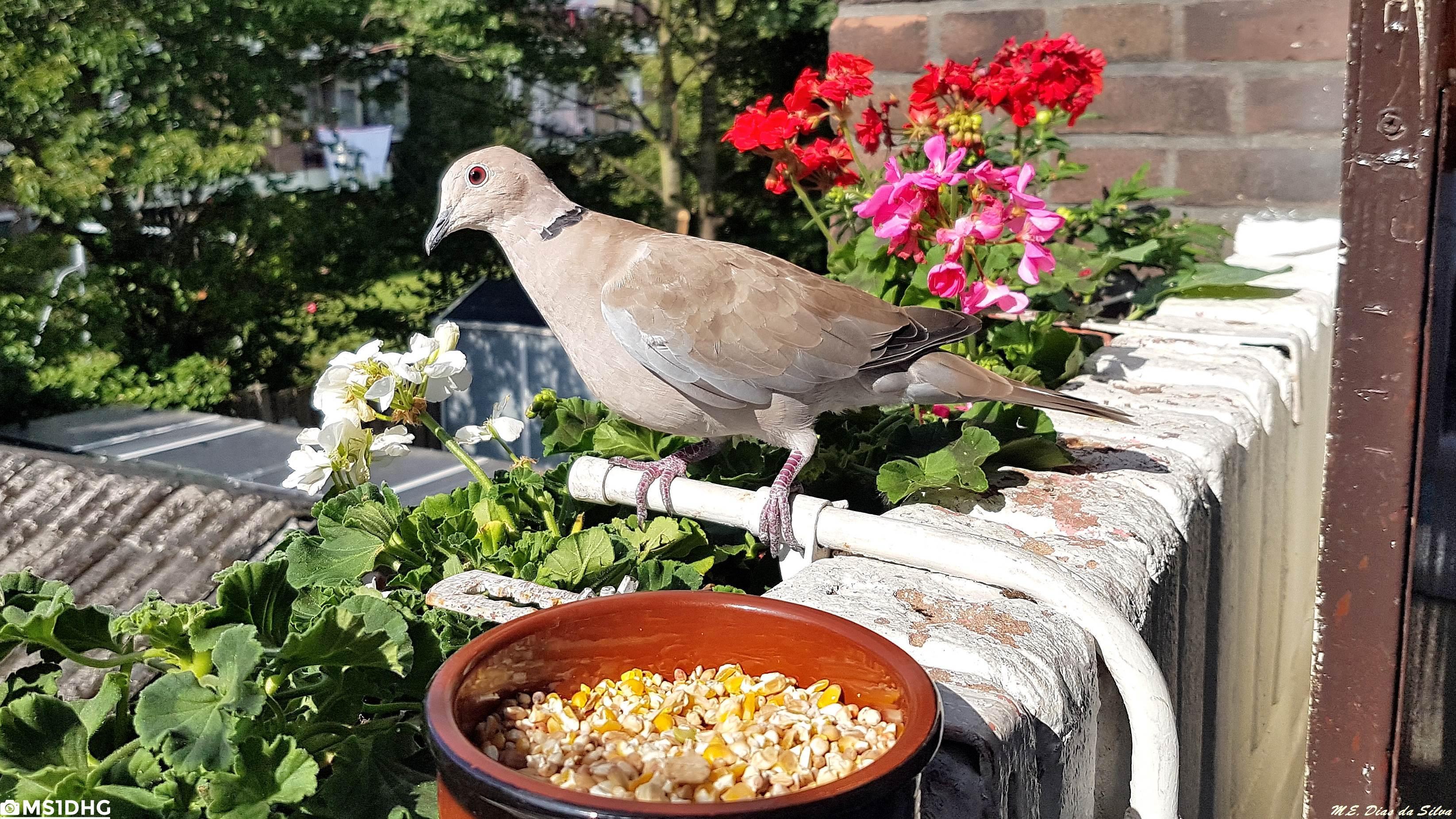 Fórum Aves - Birdwatching em Portugal - Portal Rola-turca%20(59)