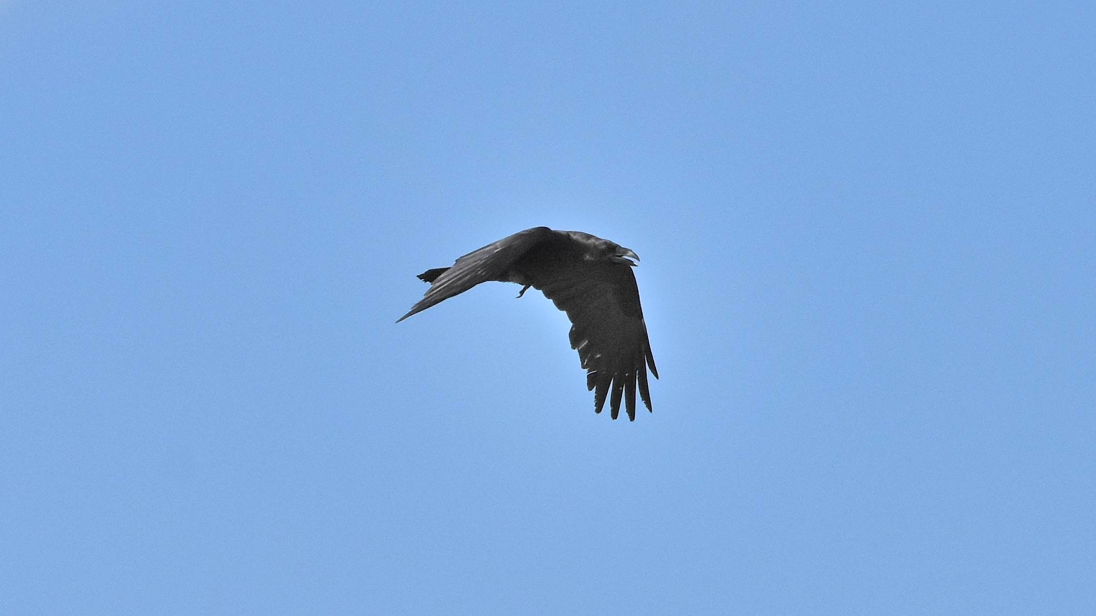 ID: Corvus corax ???? Corvo